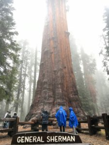 largest tree in the world, in the rain