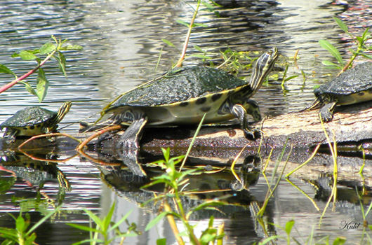 turtle on rock