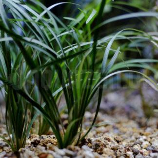 planta de acuario llamada aguja acuática