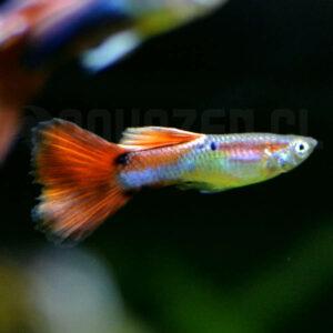 pez de acuario tropical llamado guppy macho