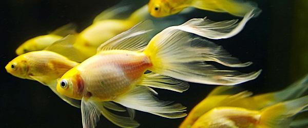 peces de agua fría carassius en santiago de chile