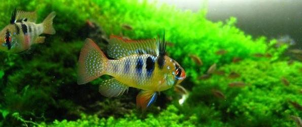 peces para acuarios en santiago de chile