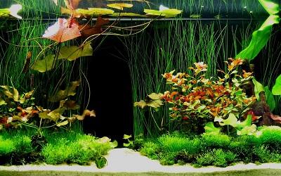 Ejemplo de acuario holandés. Plantas para acuarios en santiago de chile.
