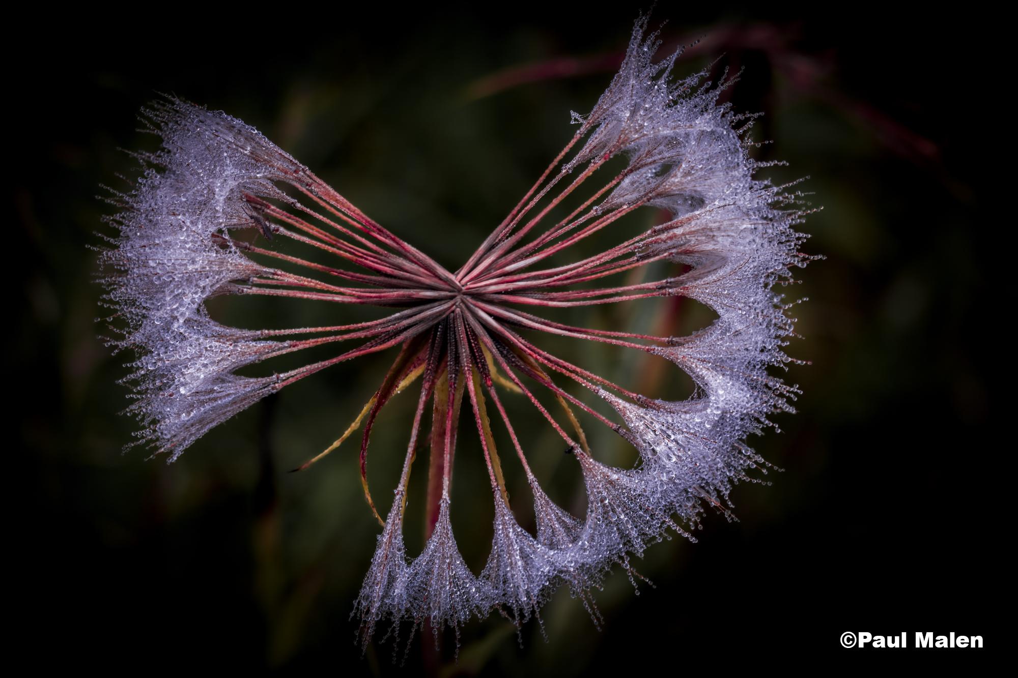 Dew on a dandelion against a dark background