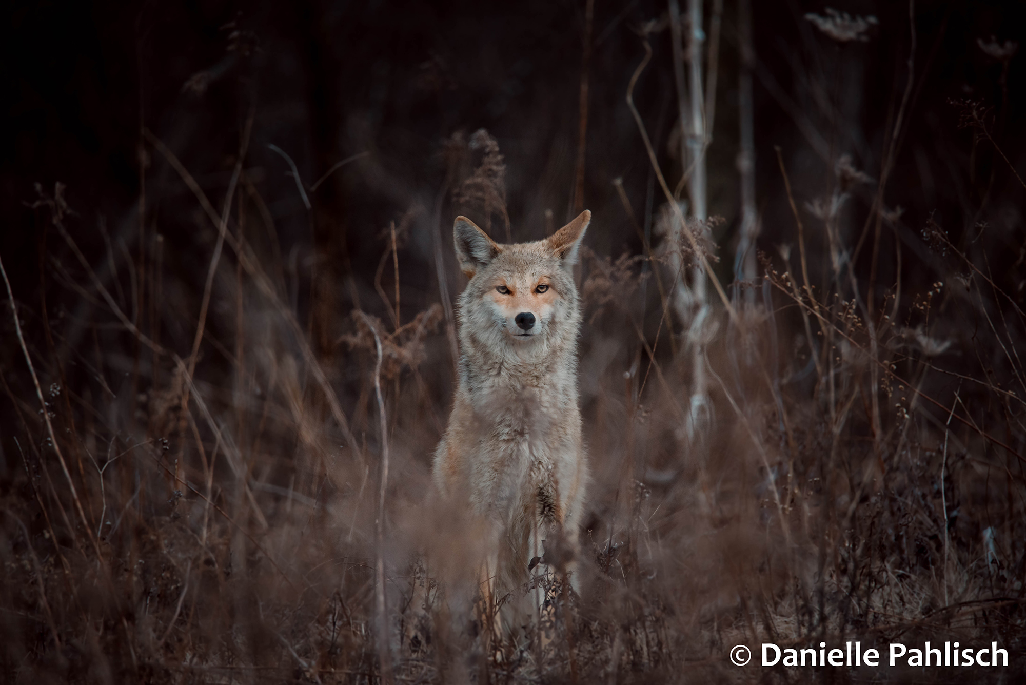 A coyote sits among dead grass in the fall