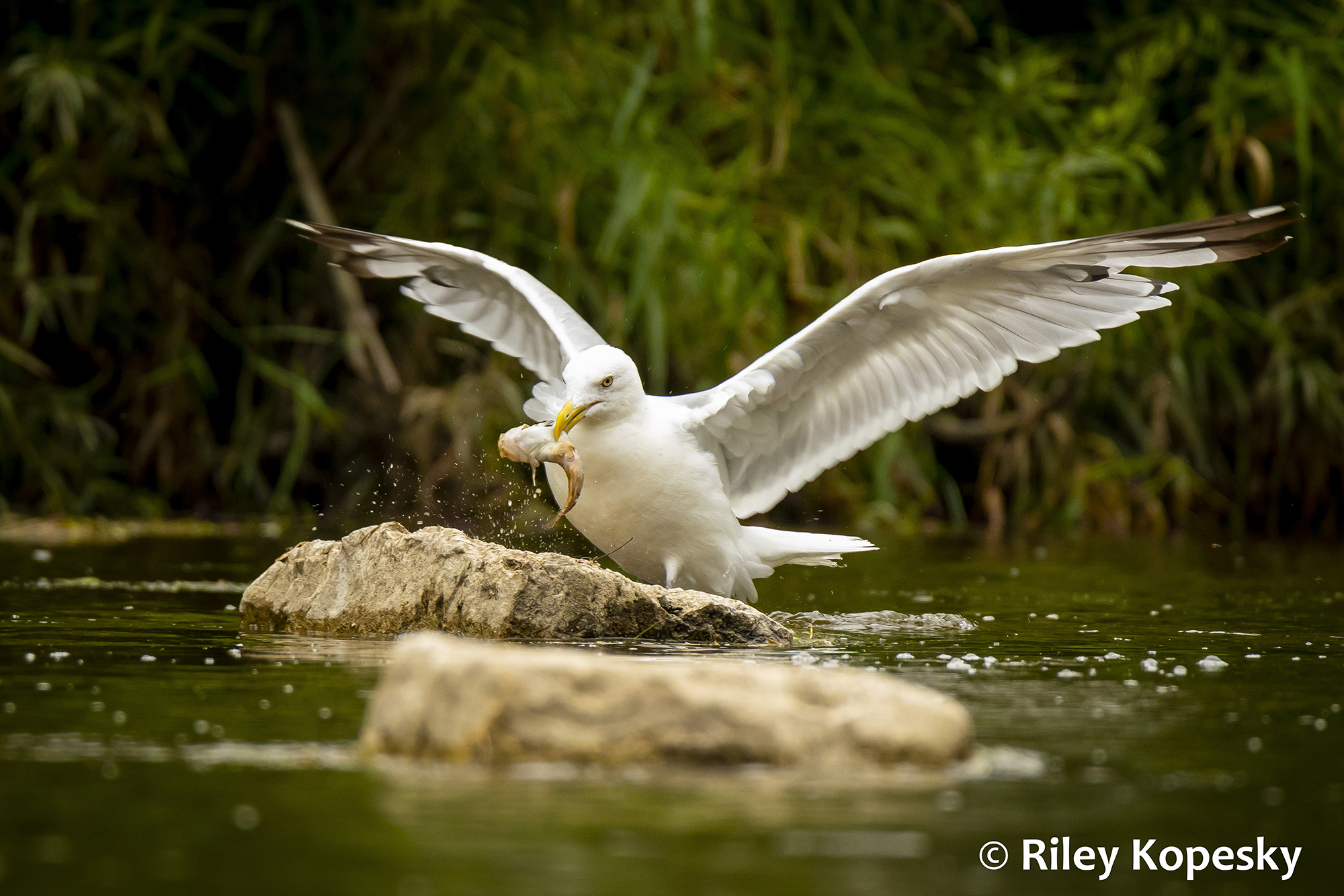 A seagull lands on a rock in the water after catching a fish