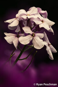 A bundle of purple flowers against a dark background