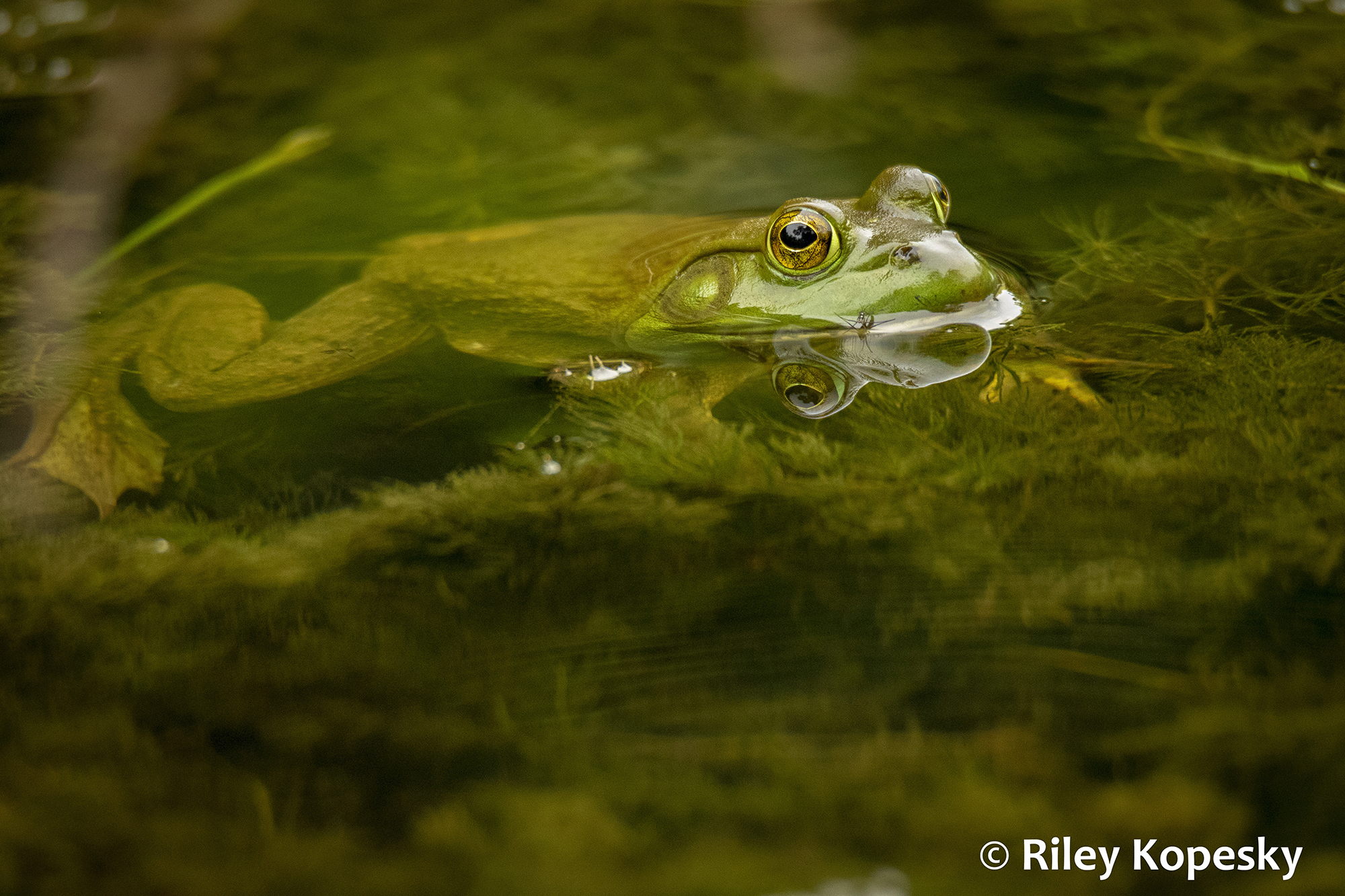 A frog peeks out of the water above submerged plants