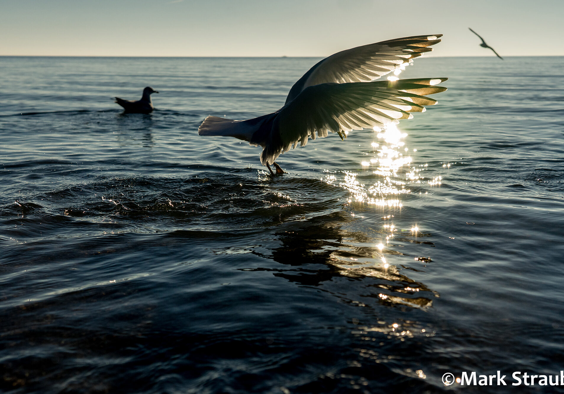 A bird takes off from the water at sundown
