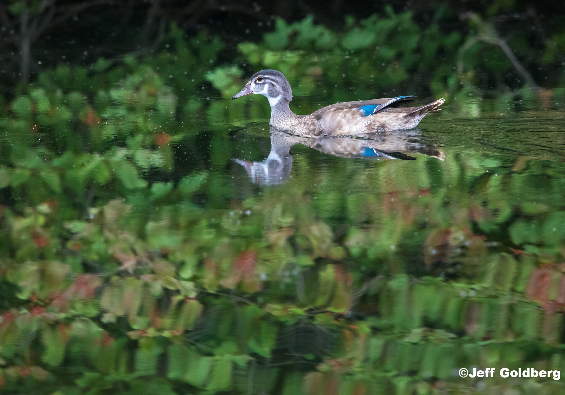 A Mandarin duck swims across a lake