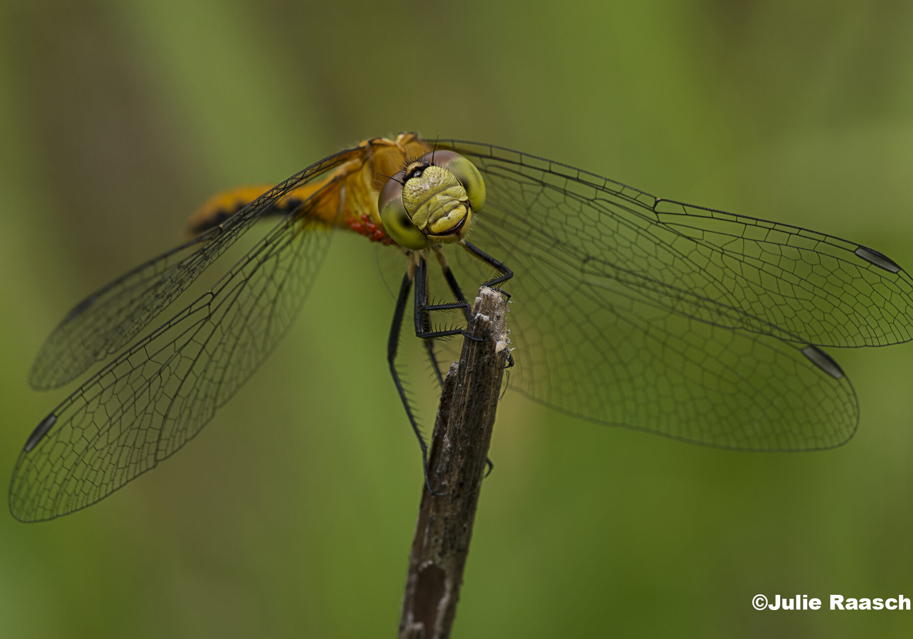 A dragonfly perches on a stick