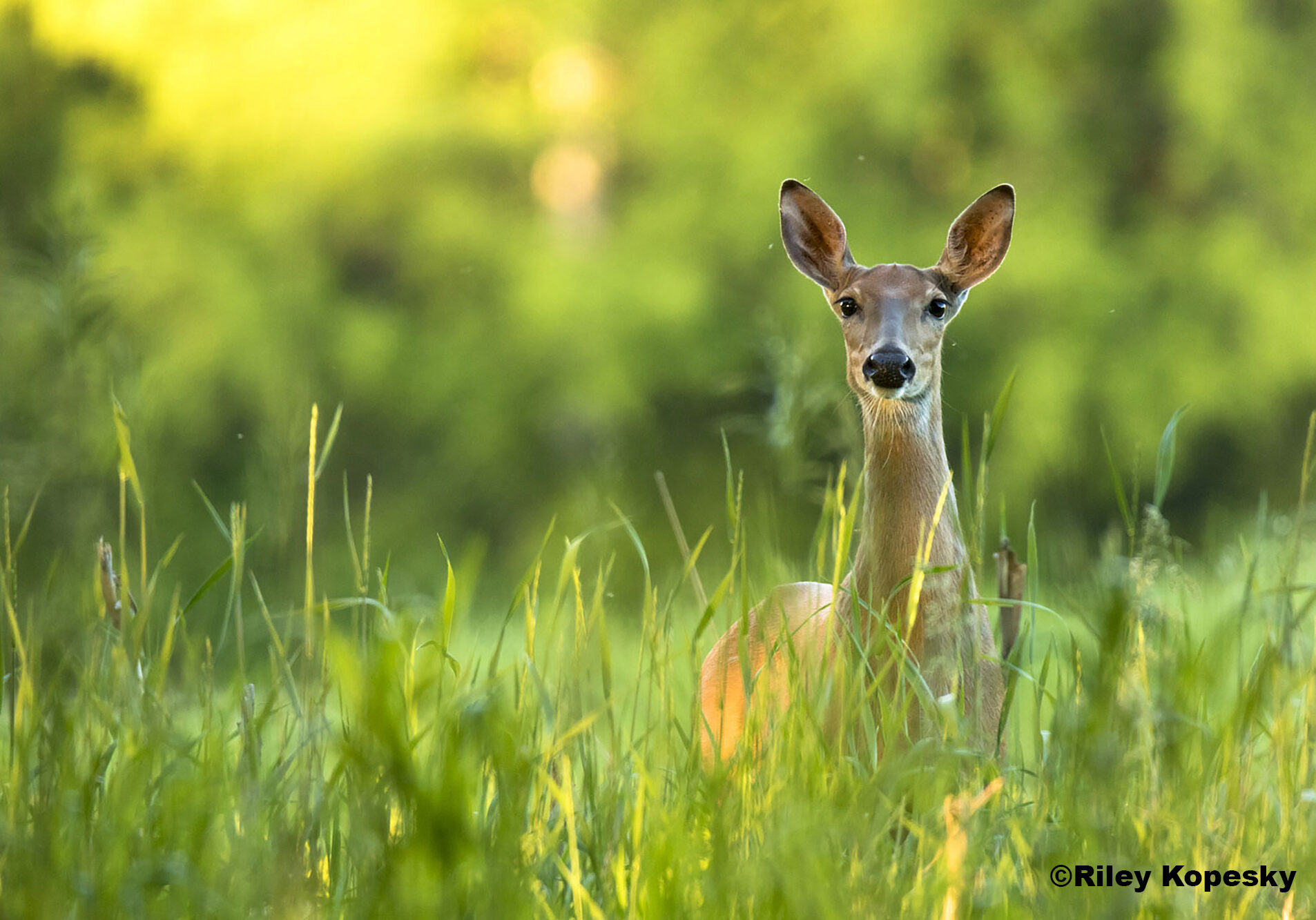 A doe looks at the camera in a field of tall grass