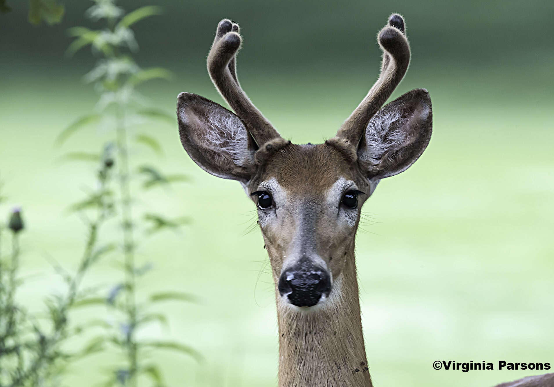 A young buck looks into the camera