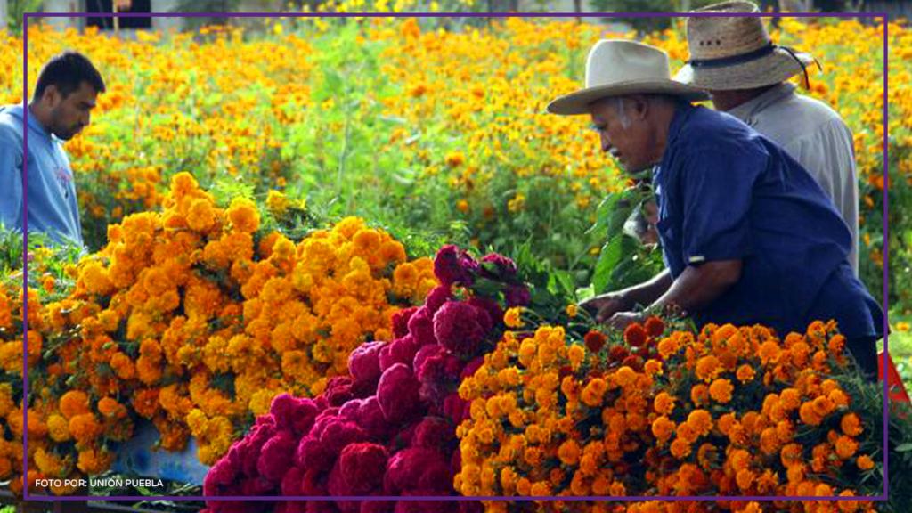 recolector de flores de cempasúchil