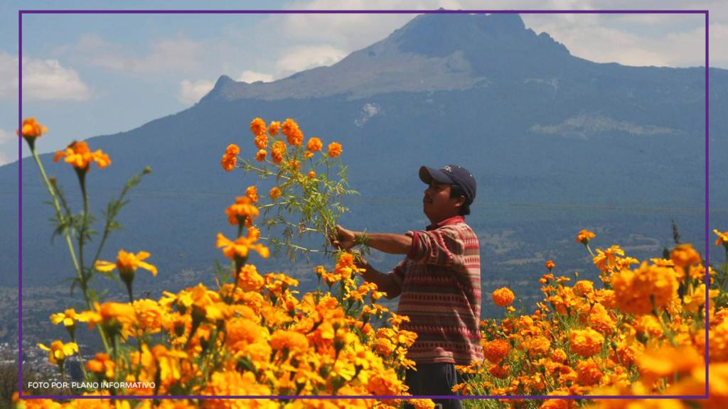 productor de flores de cempasúchil