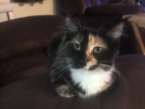 Kiss me is a Black Torbie from Florida Maine Coons