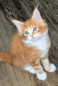 The Red Maine Coon Cat - Florida Maine Coon Kittens for Sale | Maine