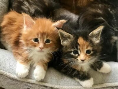 Florida Maine Coon Kittens Adonis and Athena