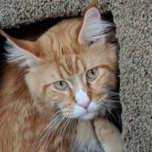 Firefly is an exceptional red male Maine Coon Cat.