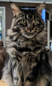 Espresso is a 2 year old male Maine Coon, he lives at OptiCoons Cattery in Florida
