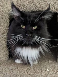 King Arthur a handsome breeding Male at Floriad Maine Coons by OptiCoons in Florida