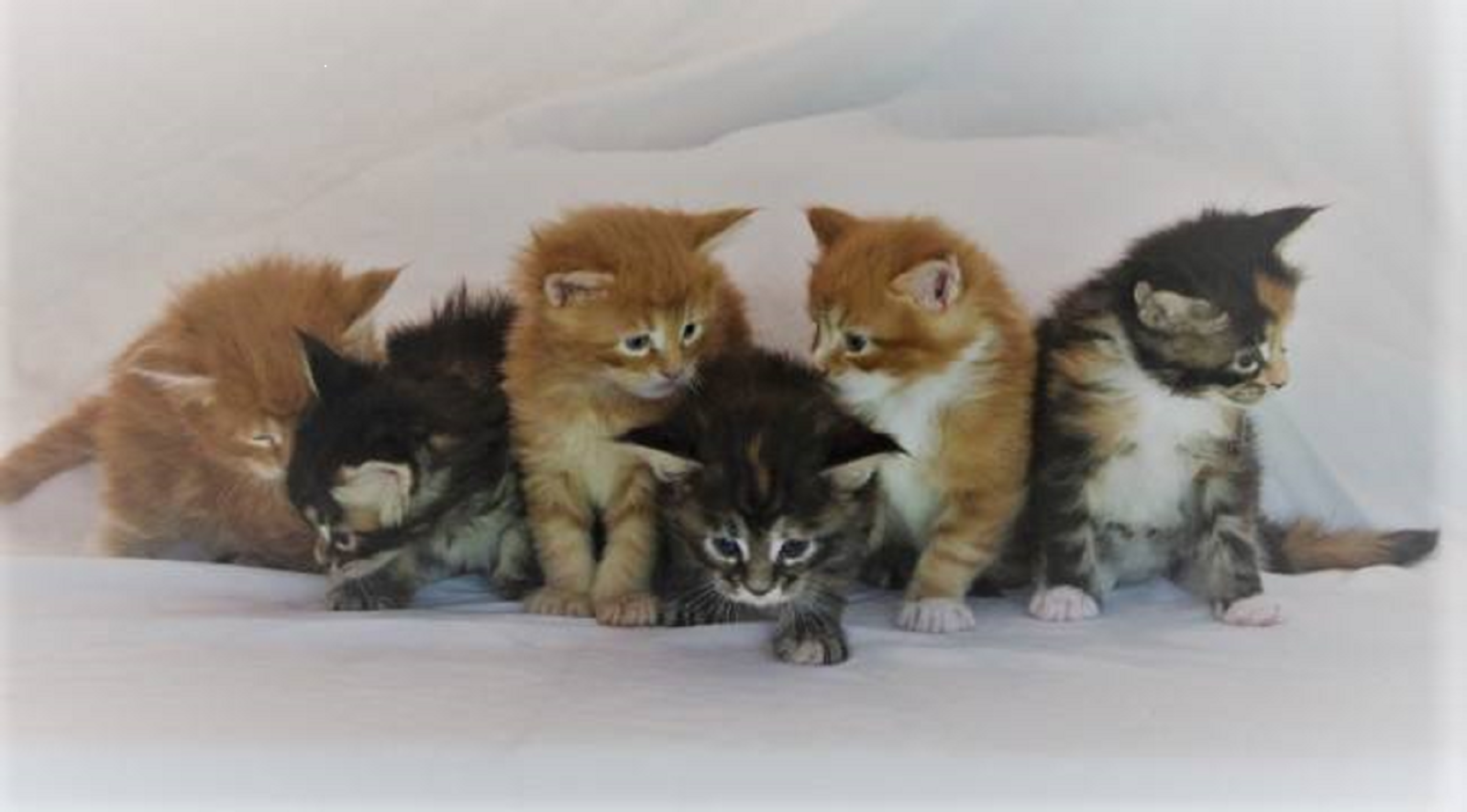 6 Maine Coon kittens from Florida Maine Coons by Opticoons Cattery in Dunnellon Florida