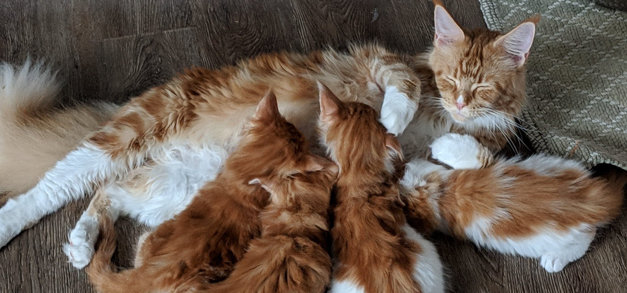 Maine Coon Kitten Scammers - be careful