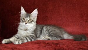 Samson is a large Silver and Black male macheral tabby that lives at Florida Maine Coons in Dunnellon, Florida