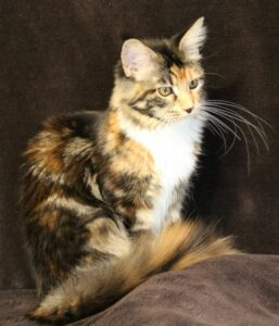 OptiCoons Athena is a female Torbie with beautiful coloring