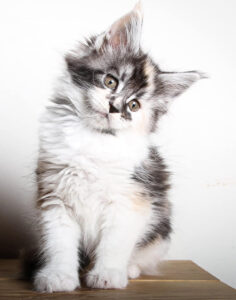 This is a picture of our High white Torbie female Maine Coon, her name is Copy Cat