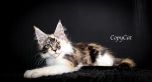 Copy Cat is a female Torbie Maine Coon with High White markings