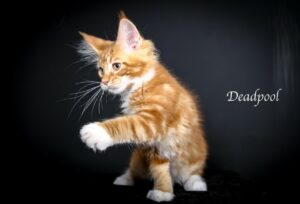 Deas Pool is a Red Male Maine Coon here at Florida Maine Coons by OptiCoons