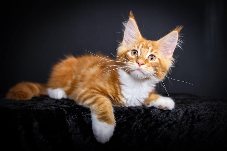 This is Dead Pool , he is a large Red Male Maine Coon Kitten