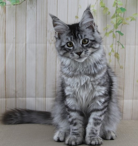 Delilah is a Black and Silver Maine Coon Kitten