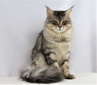 Majesticoons Samson, a male Maine Coon at OptiCoons Florida