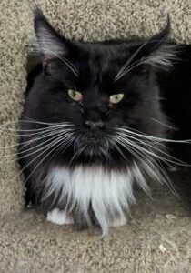 This is King Arthur a Classic Black and White male maine coon cat in his tree house at Florida Maine Coons cattery