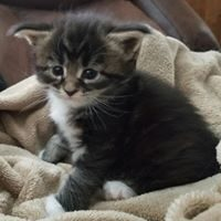 Cali-Ann is a beautiful Maine Coon Kitten from OptiCoons in Florida