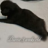 Darcie is a stunning all black Femae Florida Maine Coon kitten