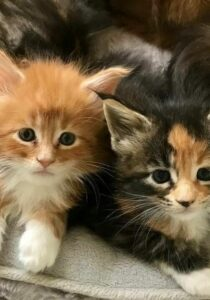 A female and a male Maien Coon Kitten. There names are Adonis and Athena at 6 weeks old.