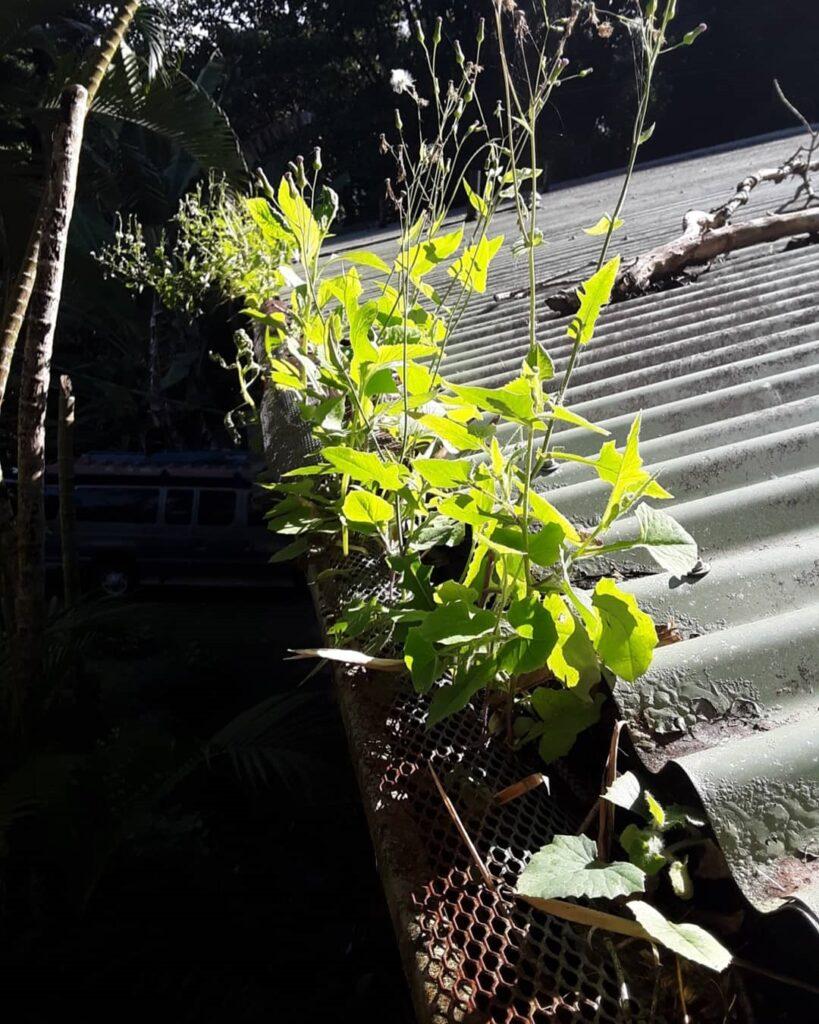 plants gutters Kauai