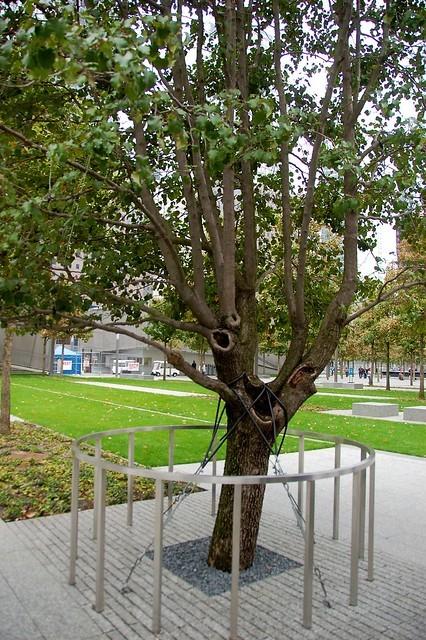 9/11 survivor tree | new growth