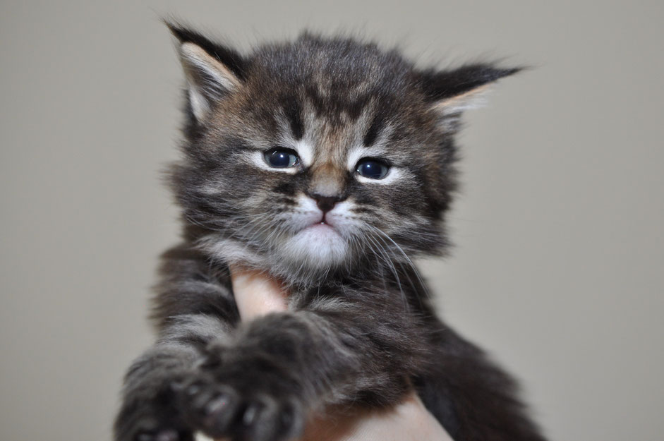 Eurocoons Maine Coon Cattery Maine Coon Kittens For Sale Olathe Ks