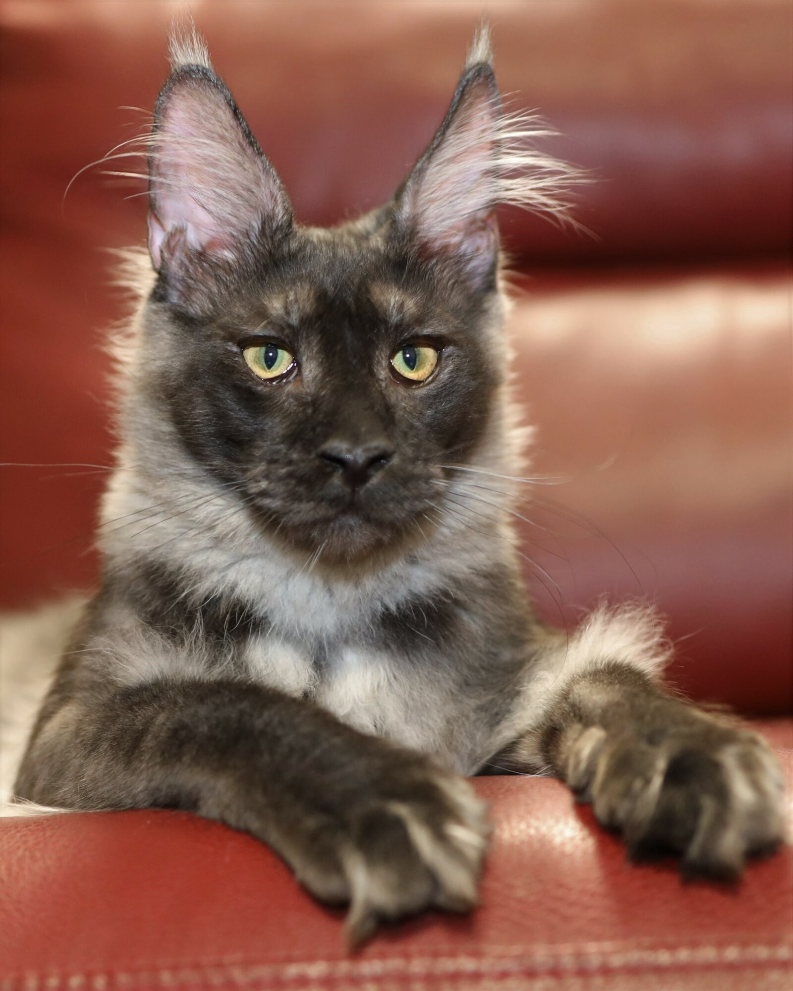 smoke maine coon cat for sale
