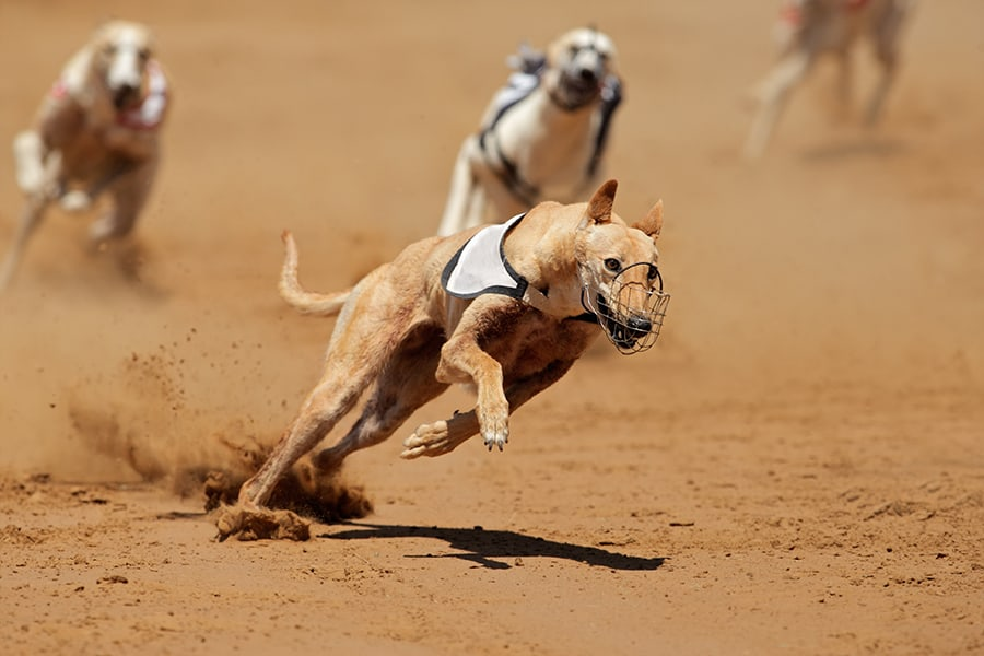 Sprinting Greyhound on the Racefield