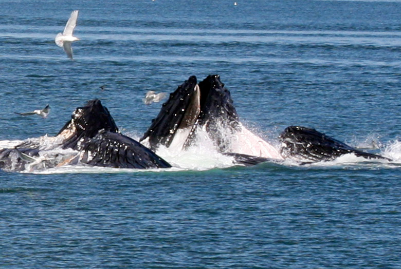 Alaskan Whales in a Group