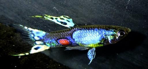 Lazuli Guppy Photos