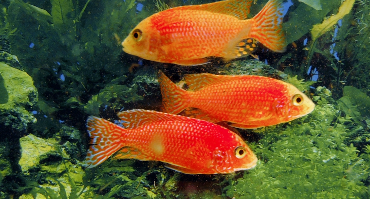 Dragon Peacock Cichlid 'Firefish' 4 Inch Breeder Colony $300 Plus Shipping or Free Local Pickup
