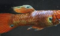 1 PAIR of HYBRID RED PICTA 'Poecilia picta' aka Swamp Guppy
