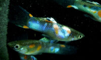 Guppy Pair of BLUE RIO Guppies (1 MALE / 1 FEMALE)