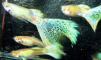 Guppy RREA Rainbow Delta Guppies